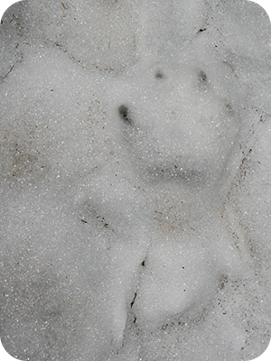 old-cat-print-snow2